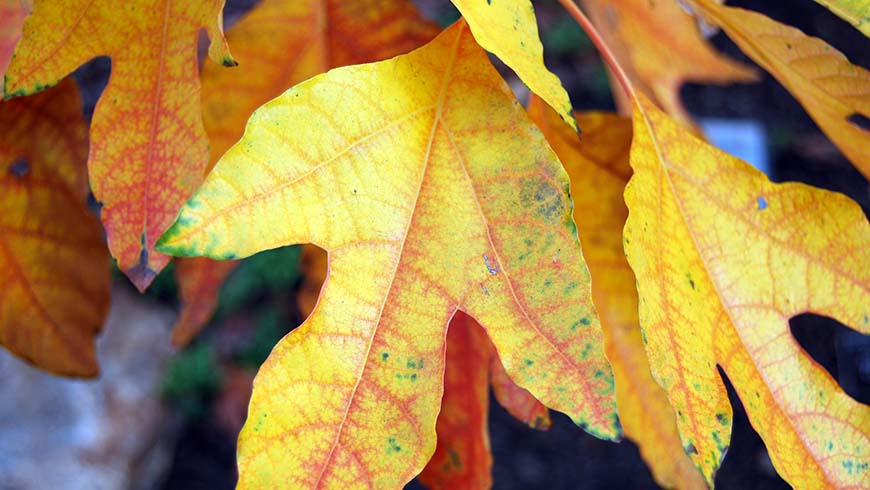 sassafras fall color