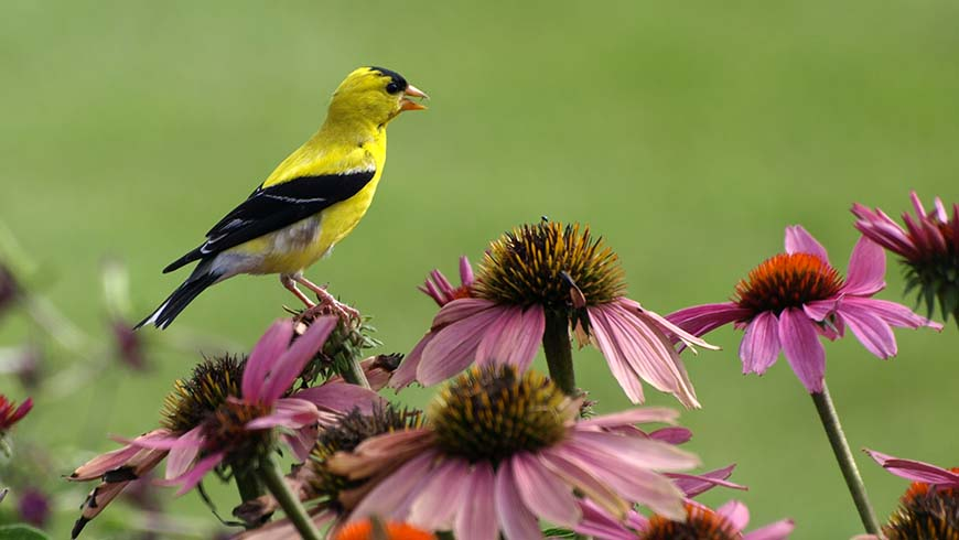 Bird on coneflower