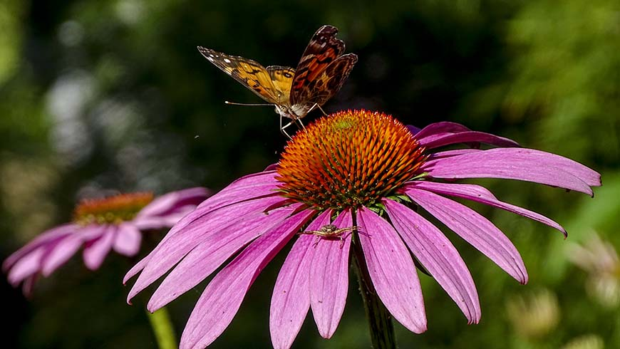 butterfly and spider in coneflower