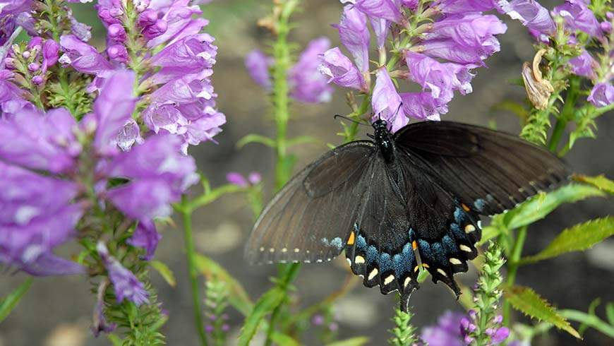 butterfly on obedient plant