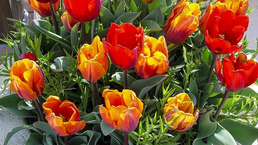 flowering tulips