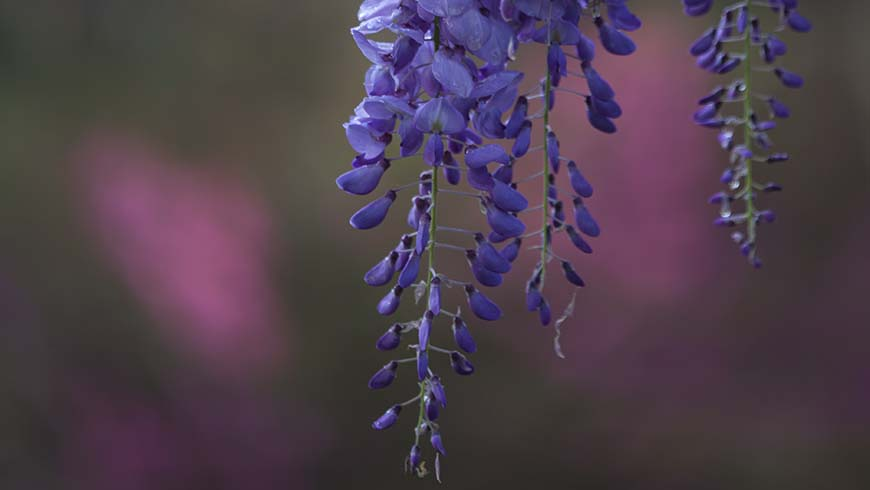 wisteria flower cluster with blurred background