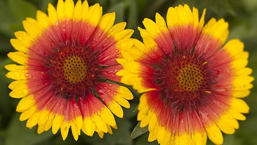 colorful blanket flower