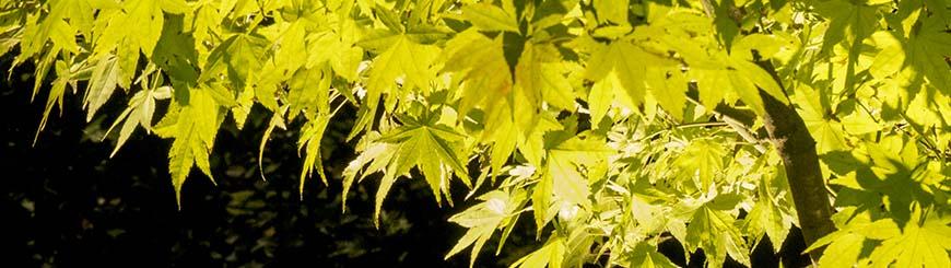 lighted Japanese maple foliage