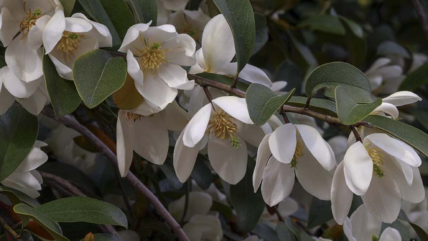 Magnolia laevifolia 'Michelle' in flower