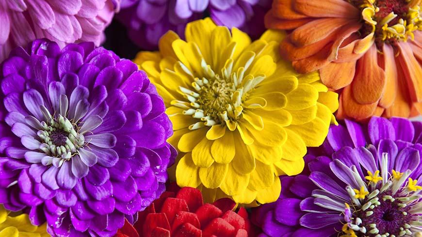 colorful zinnia flowers