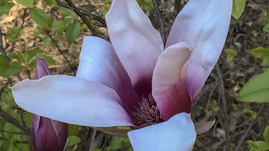 Magnolia liliiflora 'Minnie Mouse'
