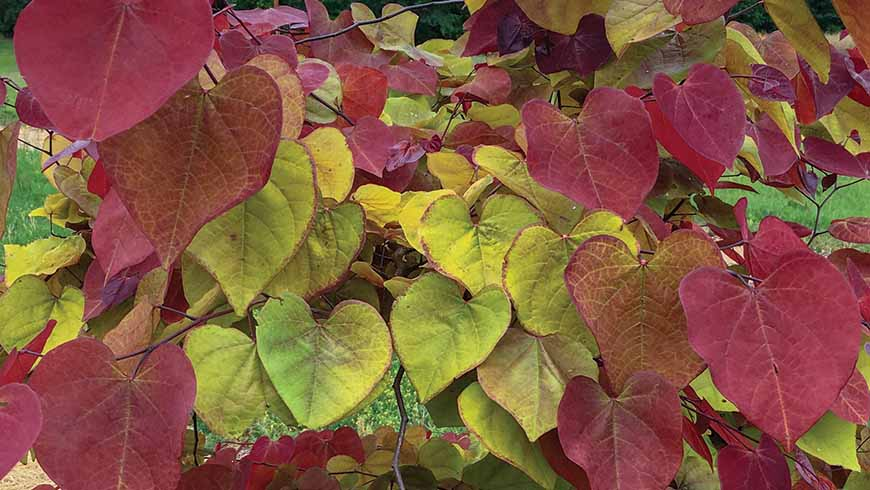 Cercis 'Flamethrower'