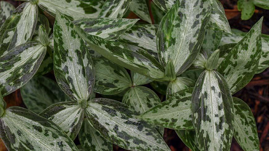 Trillium lancifolium (A2Fl-013)