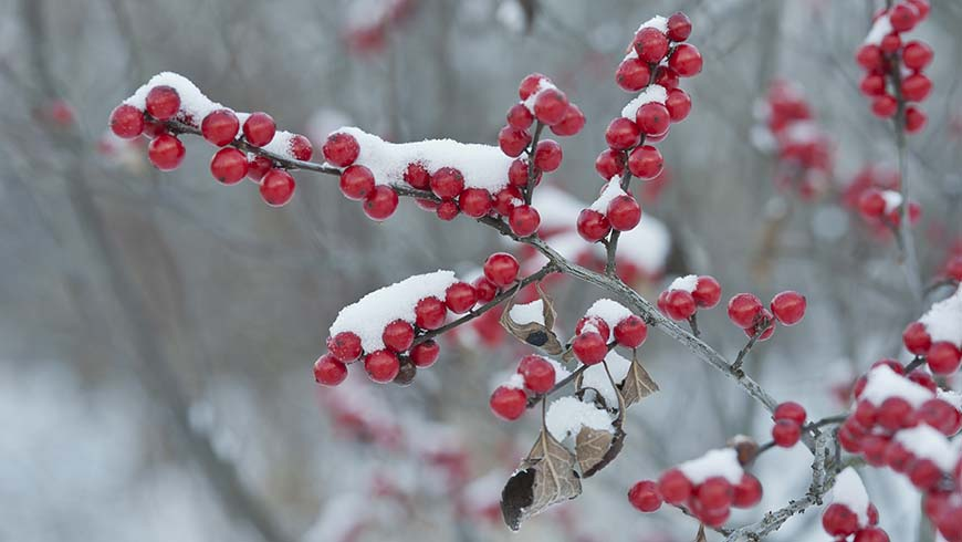 red fruited tree