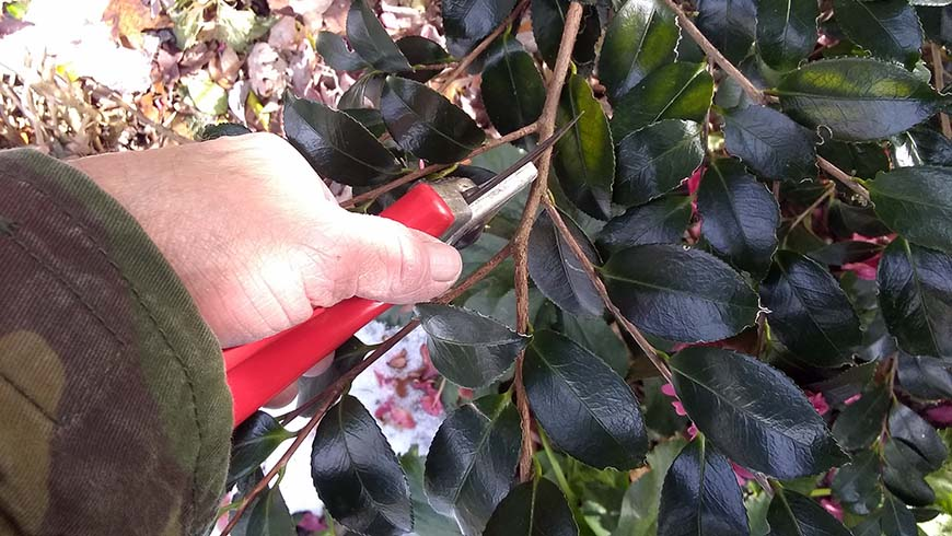 pruning a camellia