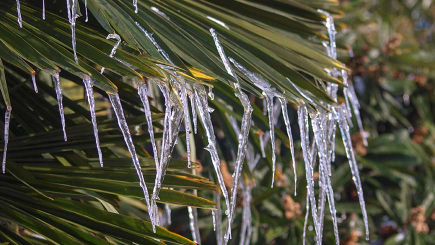 Trachycarpus fortunei 'Wagnerianus' with ice on foliage