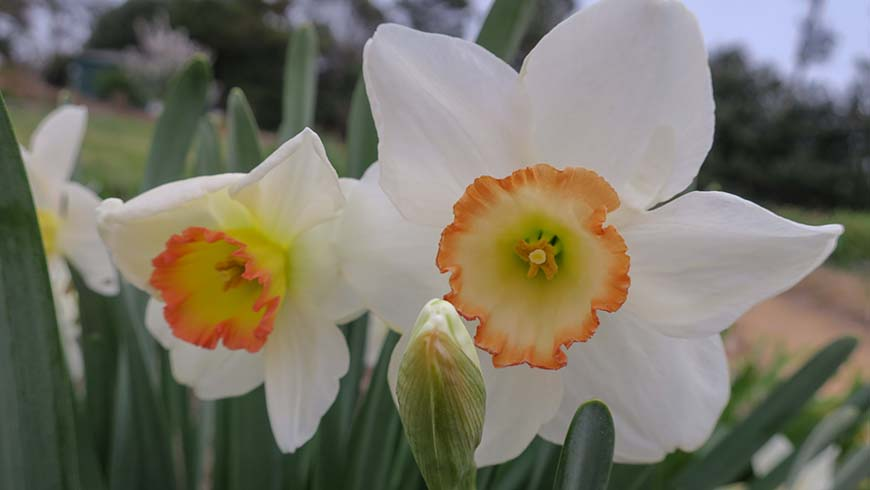 Narcissus 'Garden Club of America'