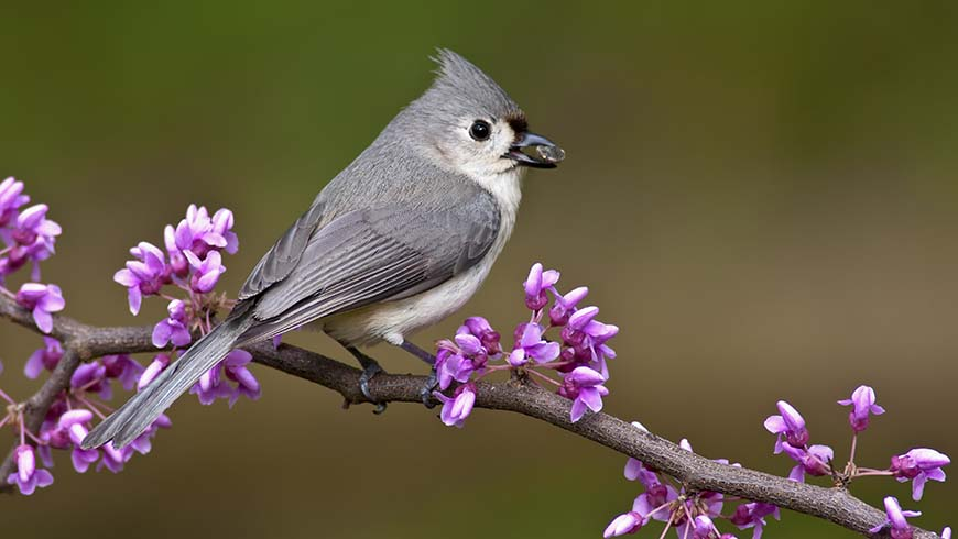 bird on flowering redbud branch