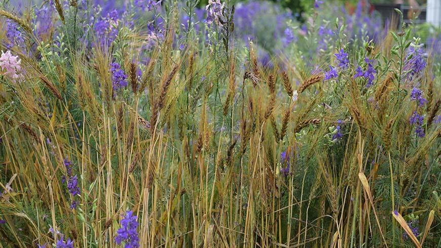 grains in a garden