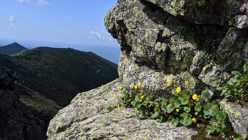 Geum peckii at Franconia Ridge, NH