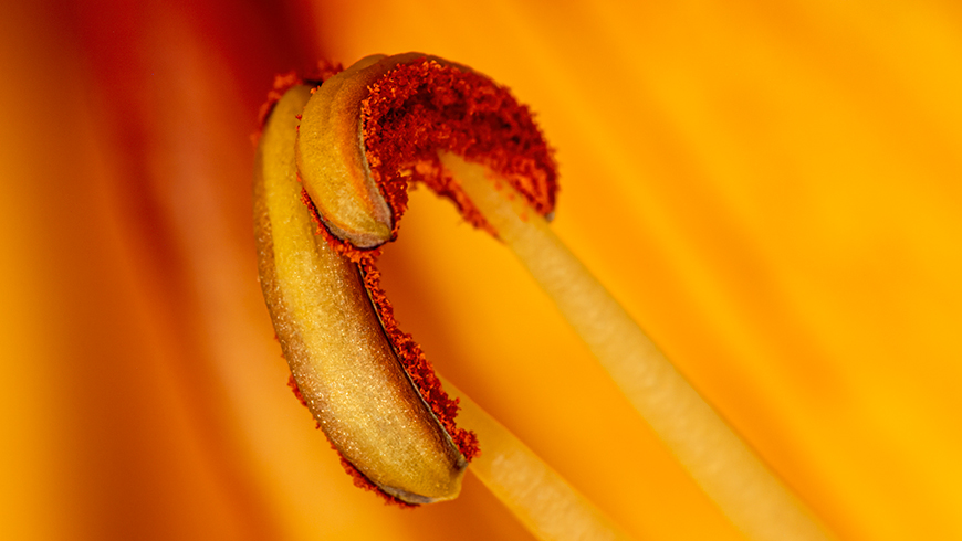 anthers close-up photograph