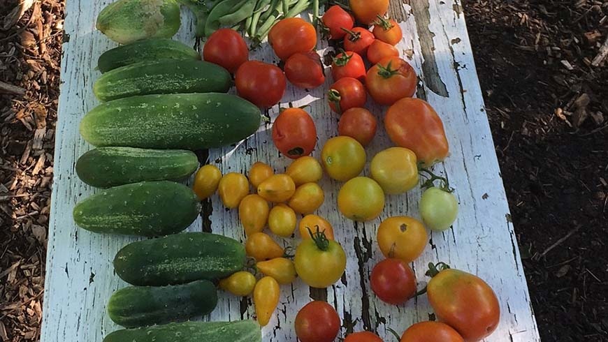community garden vegetable harvest
