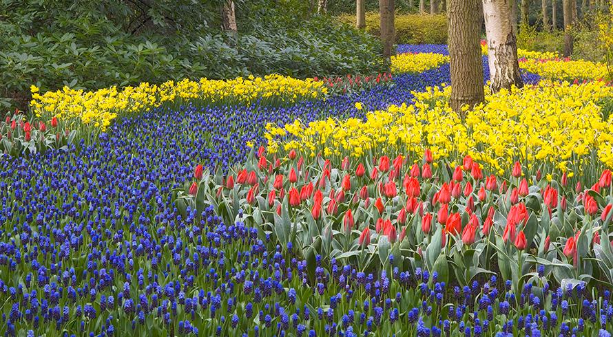 garden scene with thousands of flowering bulbs