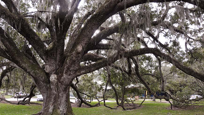 sprawling Quercus virginiana