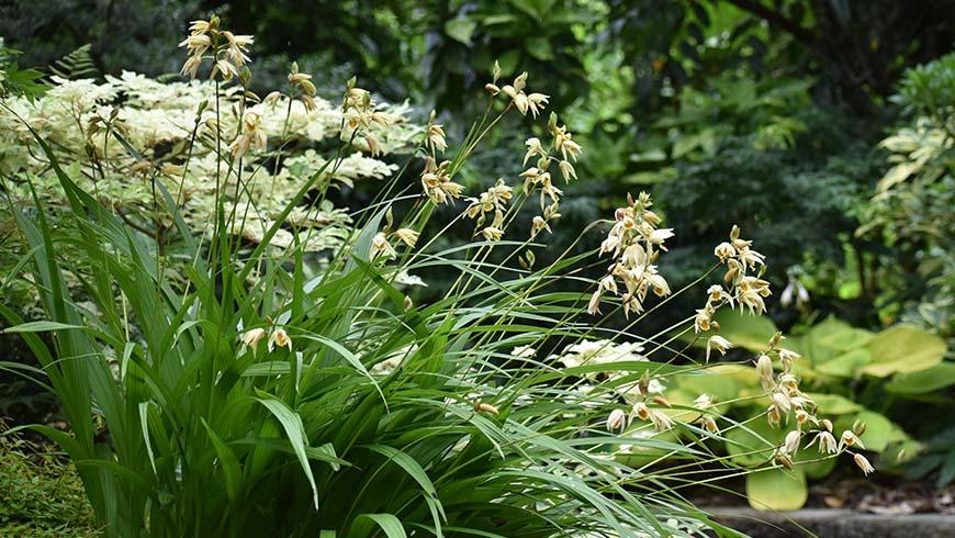 Bletilla ochracea 'Chinese Butterfly'