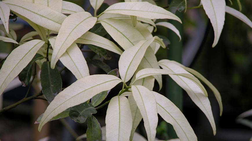 Quercus myrsinifolia (white flush)