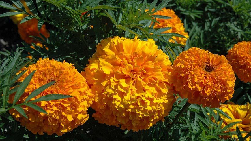Tagetes (marigold) flowers