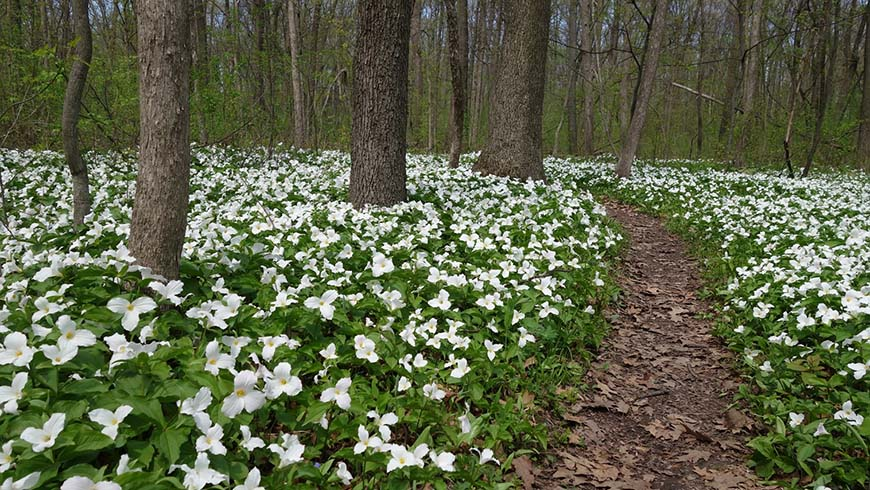 Trillium grandiflorum in a woodland setting
