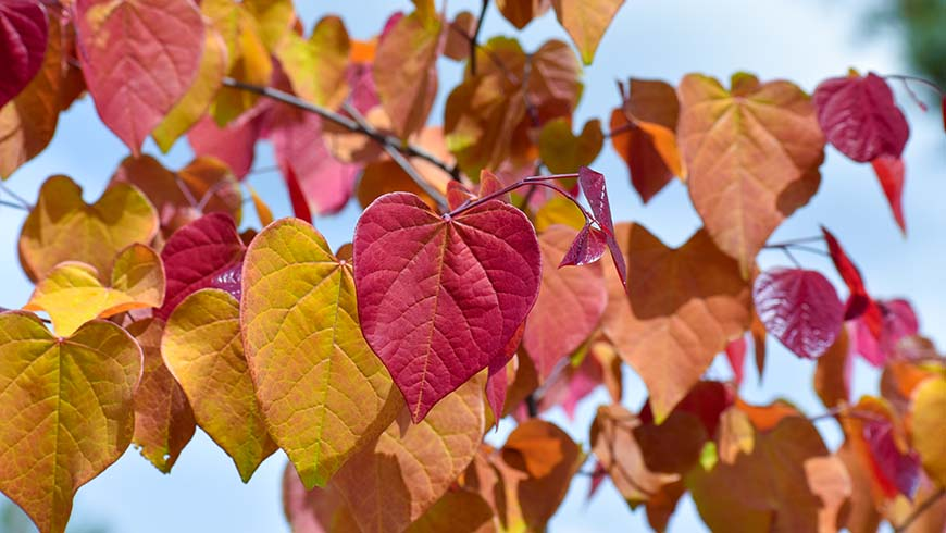 Cercis canadensis 'NC2016-2' (Flame Thrower)