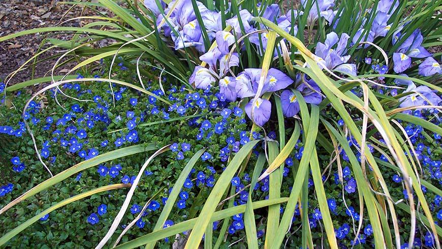 Iris unguicularis and Veronica umbrosa 'Georgia Blue'