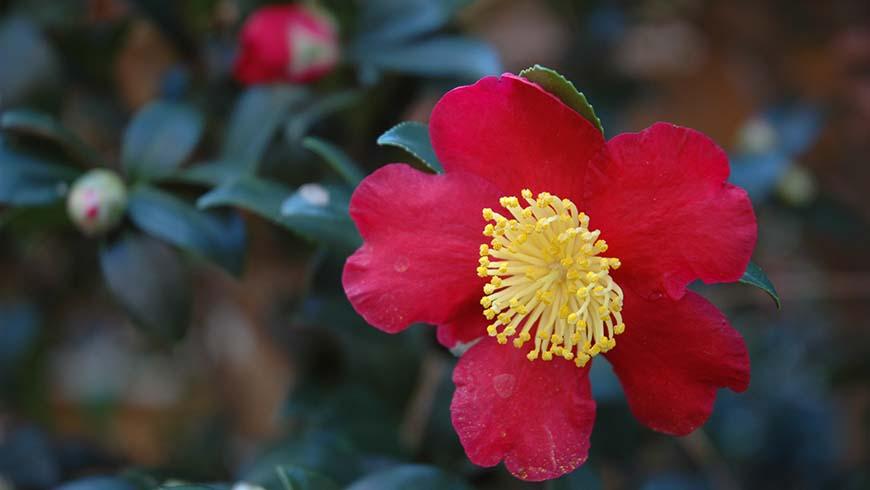 Camellia sasanqua 'Yultide'