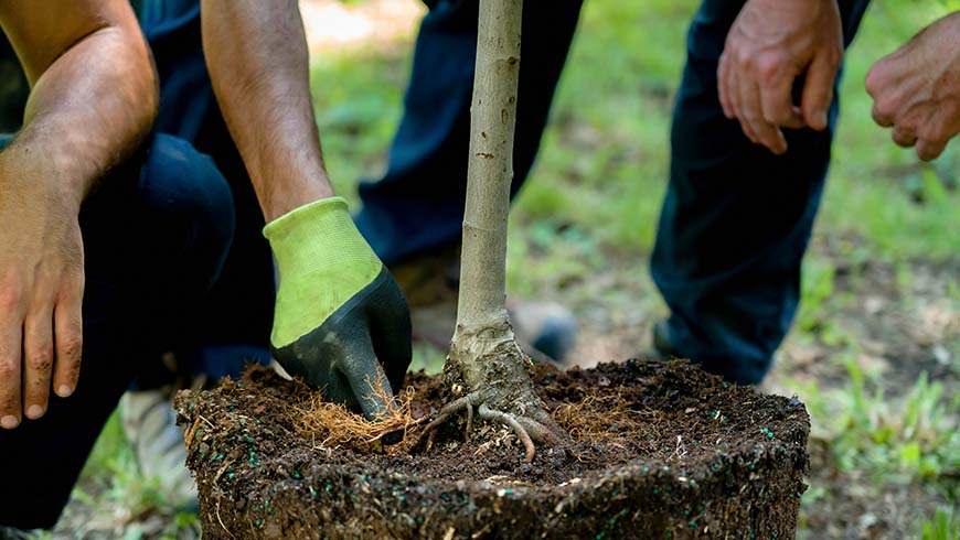 containerized tree being root pruned and planted