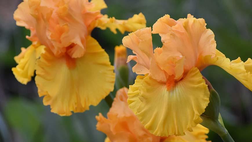 Iris 'Amplified'