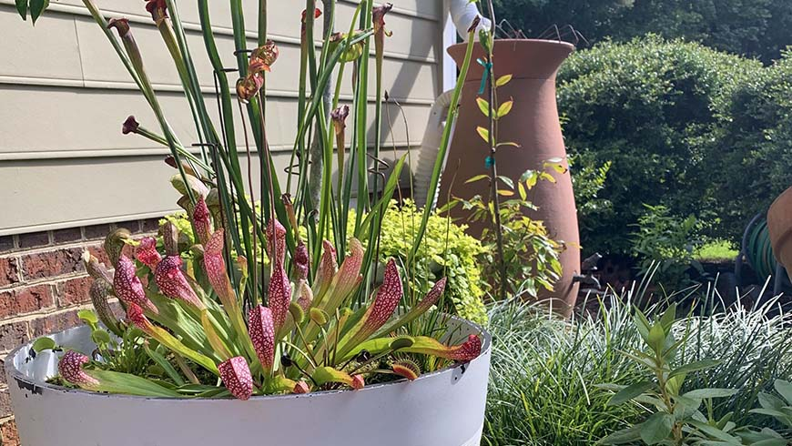 picture of a container bog garden