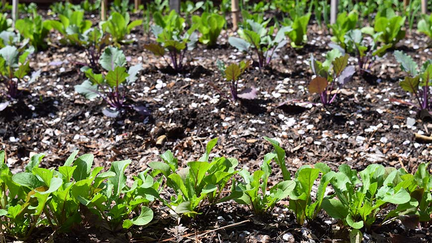 vegetable garden with spring leafy crops