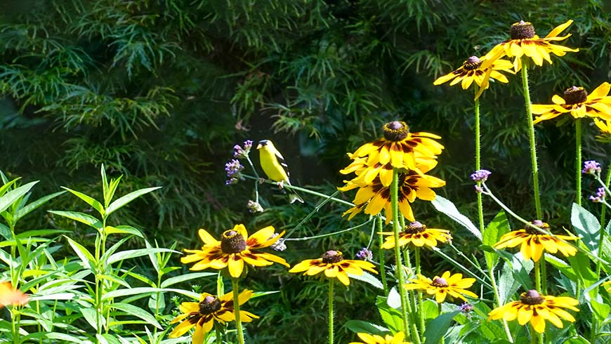 goldfinch looking for seeds in black-eyed Susans