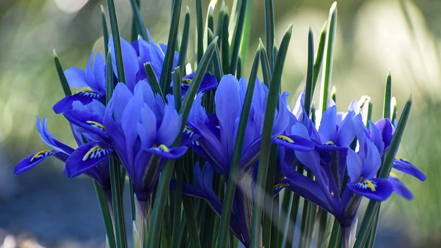 Iris (Reticulata Group) 'Harmony'