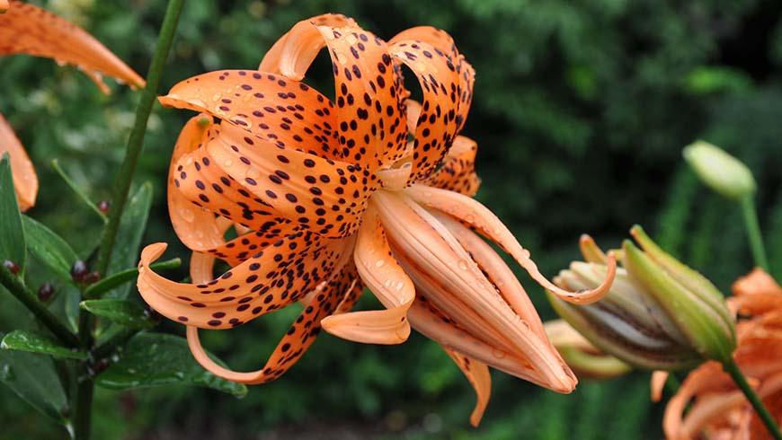 Lilium lancifolium 'Flore Pleno'