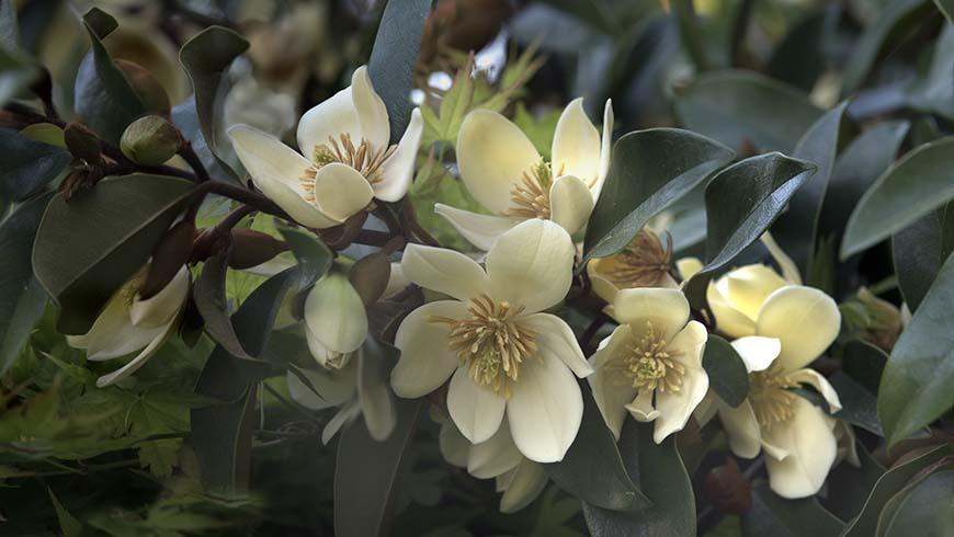 Magnolia 'Serendipity'