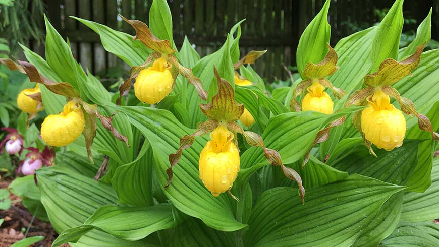 Cypripedium parviflorum var. pubescens