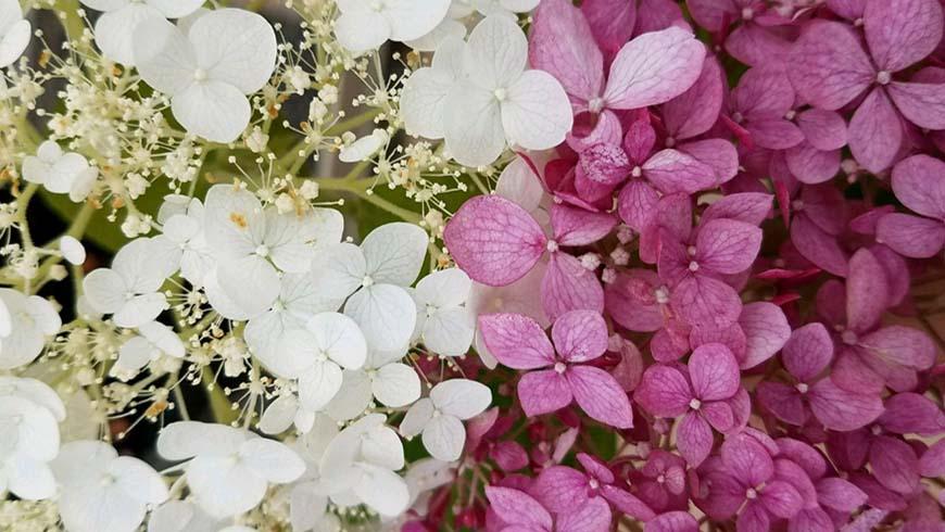 Hydranea arborescens cultivars