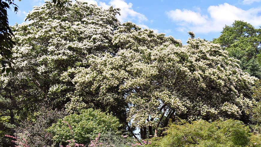 Lagerstroemia fauriei 'Fantasy' and Lagerstroemia fauriei