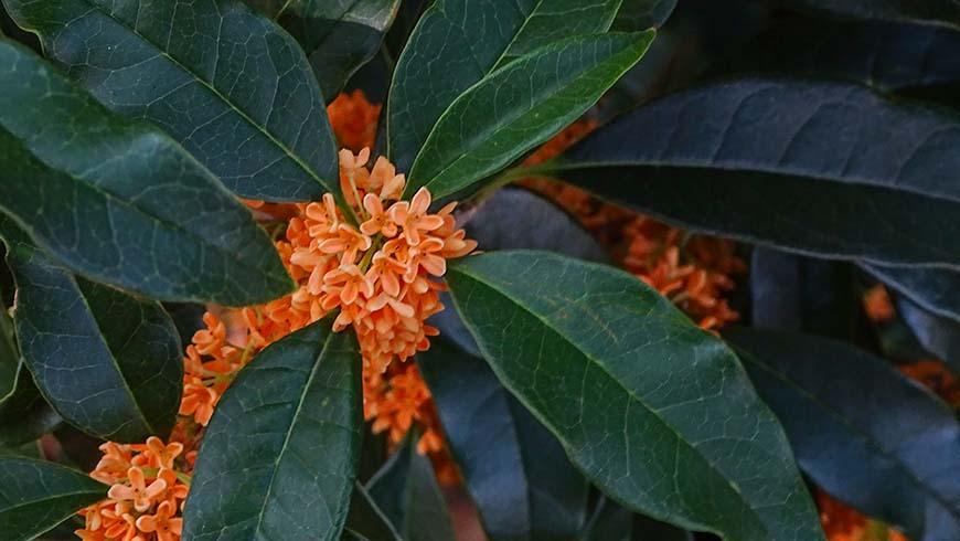 Osmanthus fragrans f. aurantiacus 'Apricot Gold'