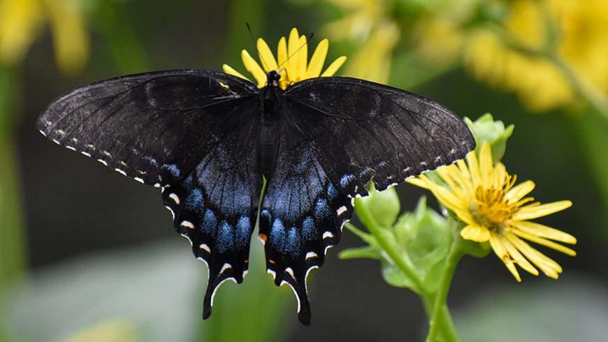 swallowtail on Silphium perfoliatum