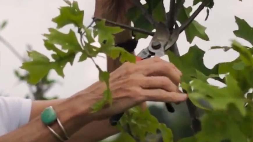 pruning an oak branch