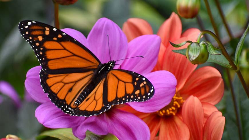 monarch butterfly on dahlia