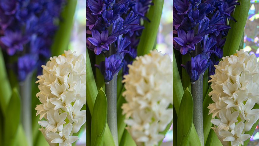 hyacinth flowers with different sharpness