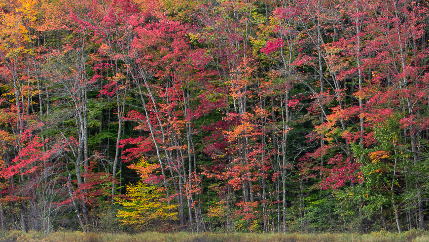 fall color on trees at edge of forest