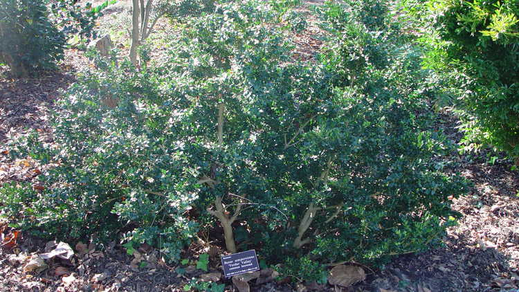 Buxus sempervirens 'Vardar Valley' – common boxwood