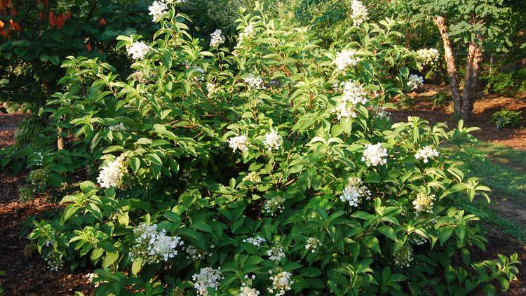 Hydrangea paniculata 'Brussels Lace' – panicled hydrangea